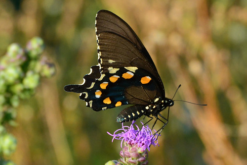 kansas wichita swallowtail pipevine chisholmcreekpark