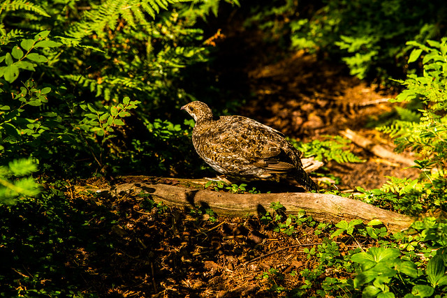 Grouse on trail