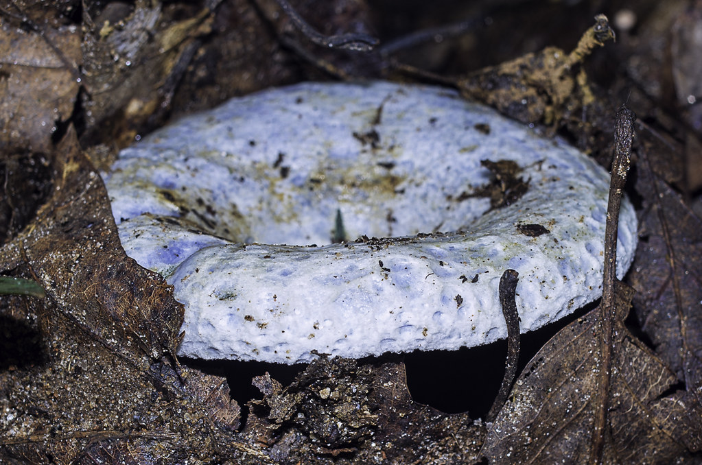 Lactarius indigo