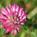 Flower of the clover by Ron and Co.