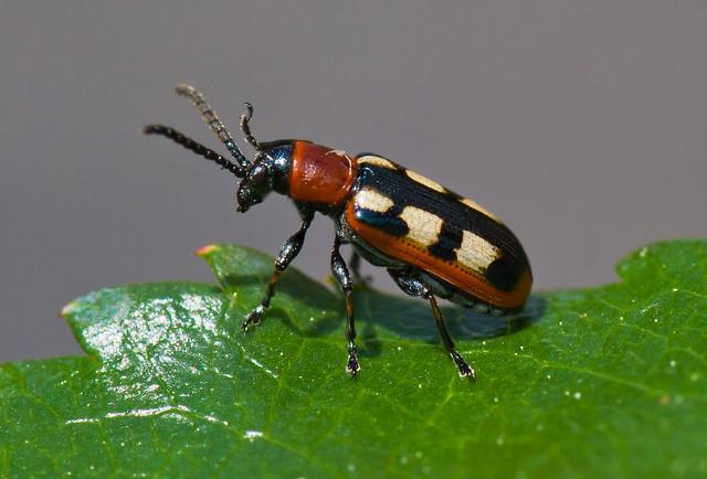 Asparagus Beetle Control: Chrysomelidae------Leaf Beetles