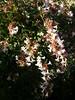 Arbuste en fleurs...