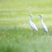 Egret by Pai Shih