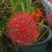 Small photo of Amaryllidaceae.Scadoxus multiflorus.Blood lily