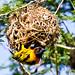Dorfweber (Ploceus cucullatus), NGIDn979592271