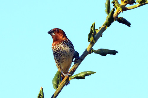 CA: Scaly-breasted Munia