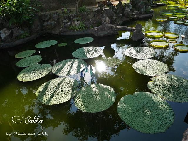 雙溪公園大王蓮 (11)
