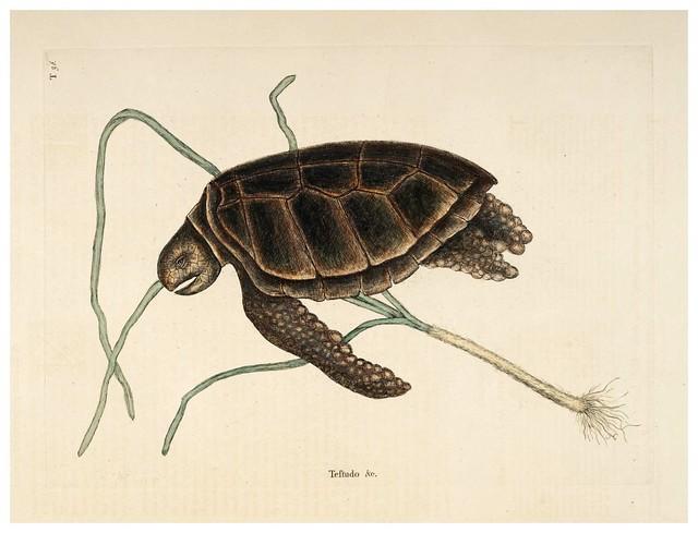018- Tortuga verde-Natural History of Carolina, Florida and the Bahama Islands-Vol2-1754