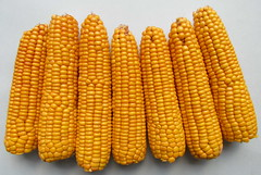 agriculture(0.0), plant(0.0), dish(0.0), crop(0.0), sweet corn(1.0), food grain(1.0), corn kernels(1.0), yellow(1.0), vegetarian food(1.0), maize(1.0), corn on the cob(1.0), produce(1.0), food(1.0), corn on the cob(1.0),