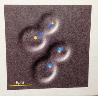 059-Thorpe lab - Yeast group