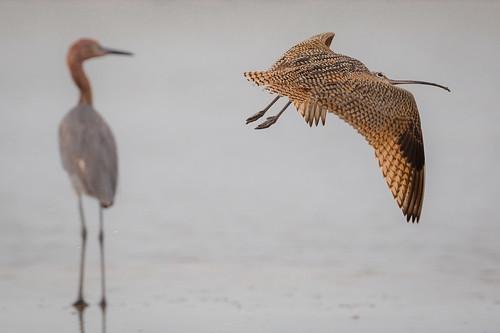 longbilledcurlew reddishegret bird flight bif surf bolivarflatsshorebirdsanctuary houstonaudubonsociety galvestoncounty texas gseloff