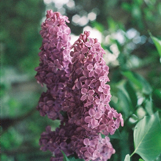 Lilacs are the sweetest old-fashioned flower but to really love them you need a crisp blue sky, a soft bed with clean sheets, a quiet Saturday morning, an open window and a gentle breeze to carry their perfume over the roofline and into your sunlit room l