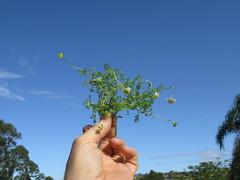 Cotula turbinata plant NC2