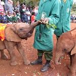 Young elephants having their morning feed at the David Sheldrick Wildlife Trust, Nairobi, Kenya