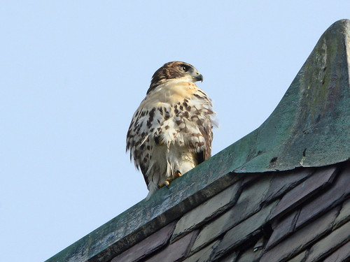 Cathedral Hawk Fledgling - 3257