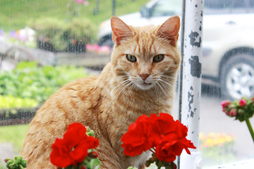 orange cat, orange tabby, orange tabby cat, shorthaired cat, pets