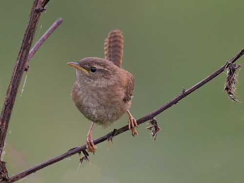 Wren watching