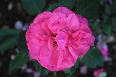 floribunda(0.0), plant(0.0), annual plant(1.0), shrub(1.0), garden roses(1.0), rosa 㗠centifolia(1.0), flower(1.0), rosa gallica(1.0), flora(1.0), rosa chinensis(1.0), pink(1.0), petal(1.0),