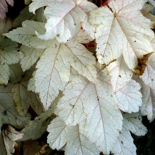 albino sycamore