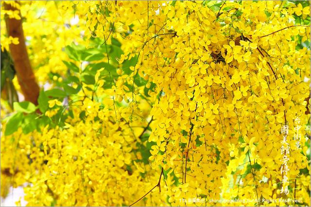台中版黃金旅遊路線~台中阿勃勒花季~美術館阿勃勒花季~