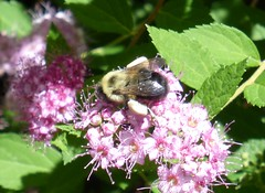 Bumble bee on spirea