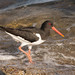 Huitrier pie- Oystercatcher- Lofoten- Norway July 14 by Morgan Boch