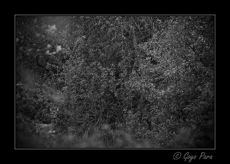 El duende del bosque