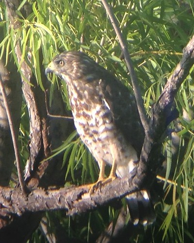 Broad-winged Hawk - 2