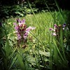 Self-heal (Prunella vulgaris) in the park.
