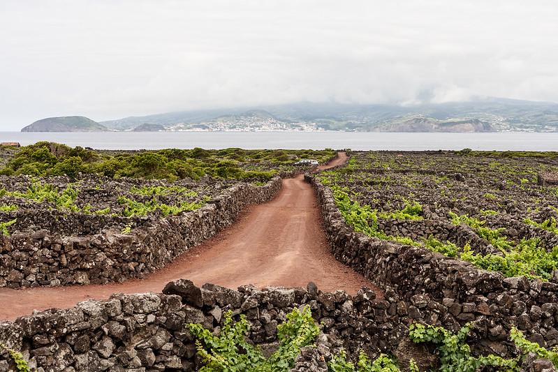 criação velha, ilha do pico
