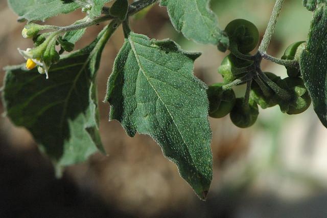 Solanum Nigrum Solanum Nigrum
