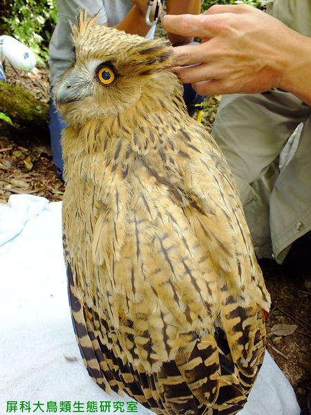小黃魚鴞離巢前,研究人員幫牠測量身高體重。圖片來源:汪辰寧、洪孝宇(屏科大野保所鳥類生態研究室)