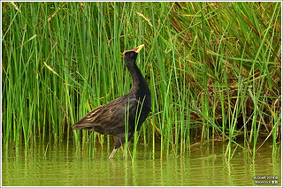 Gallicrex cinerea (Watercock) - Avibase