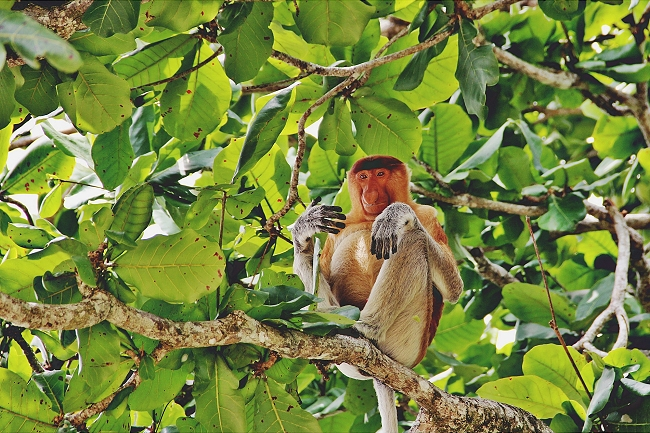 Malaysia, Borneo, Sarawak, Bako Nationalpark Nasenaffen