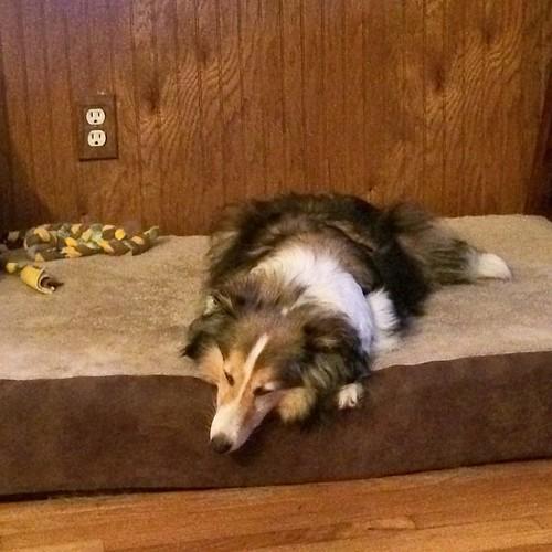 Maggie sleeps #puppymilldogs #sheltie