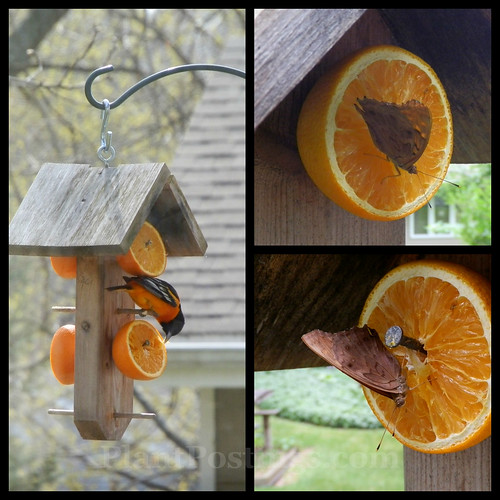 oriole feeder
