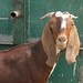 Small photo of Omani goat