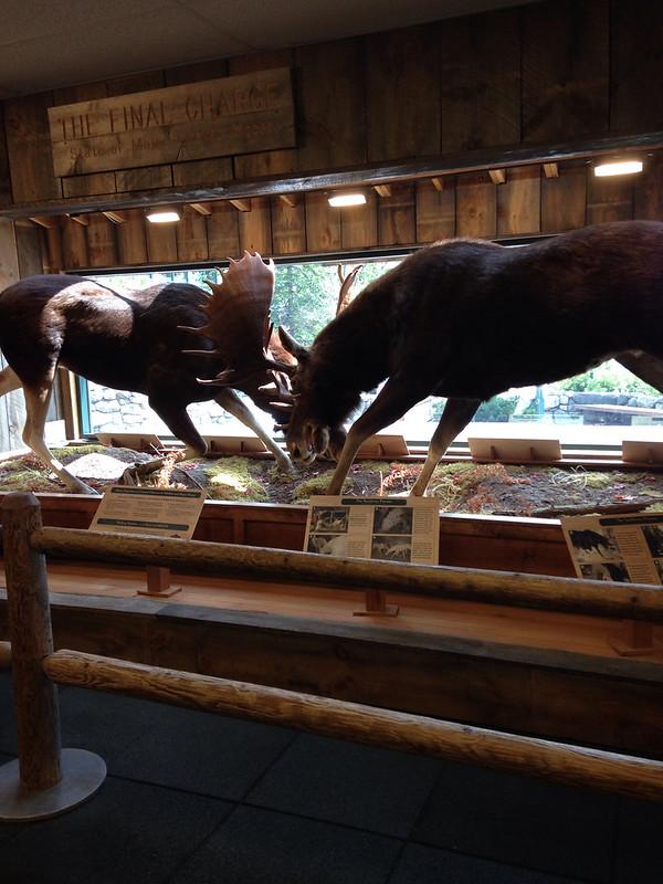 Clashing moose display
