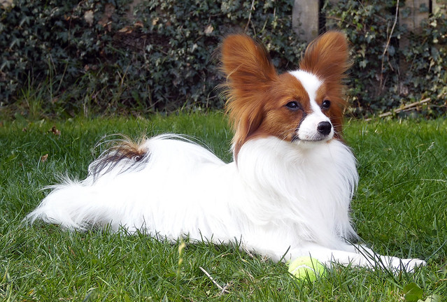 pomeranian papillon flickr the pomeranian chihuahua papillon or cross 5764
