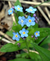 annual plant, flower, plant, macro photography, wildflower, flora, forget-me-not,