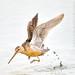 """Kangaroo Bird"""