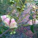 Eucalyptus beardiana by synandra14