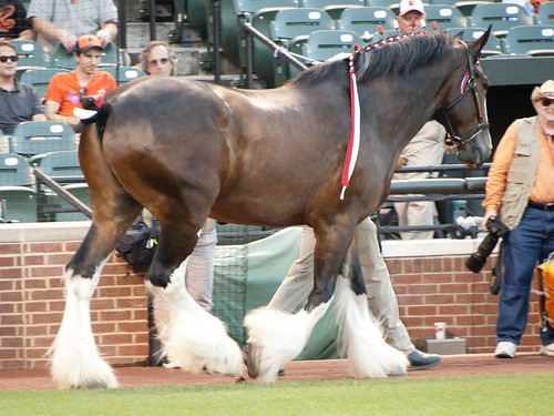 budweiser's clydesdale horse
