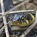 Grass-snake_2849