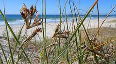 Beach Grass at Torakina