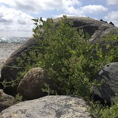 Sea kale (Crambe maritima L.) at Spornes (strandkål).