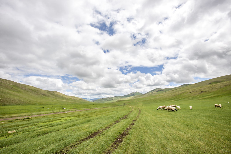 Sheep in countryside Mongolia