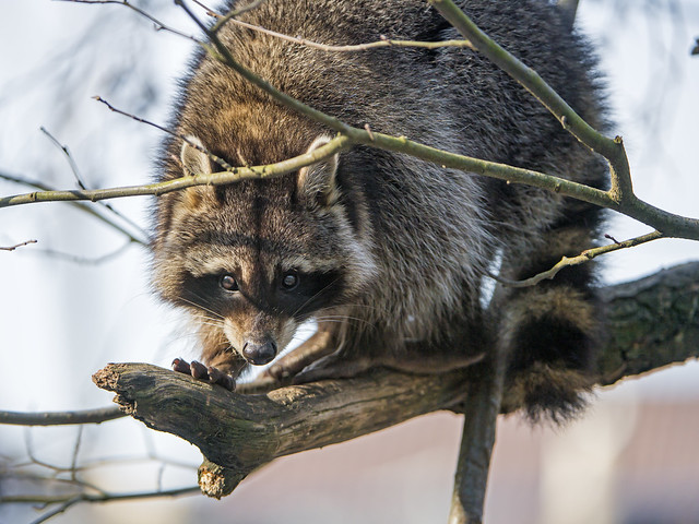 Raccoon in the tree, closer