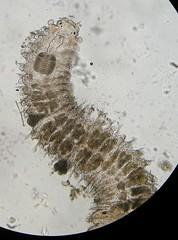 Plakosyllis brevipes