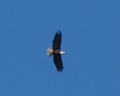Yard Eagle